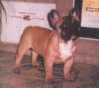 http://www.frbulldogisrael.narod.ru/Mignonne_of_Lancer_Home.jpg